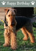 Airedale Terrier-Happy Birthday (No Theme)